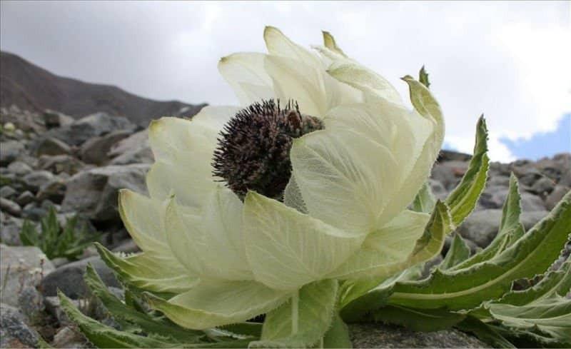 Thiên sơn tuyết liên vì được sinh ra trên vùng núi tuyết, khi nở hoa hình dạng như hoa sen