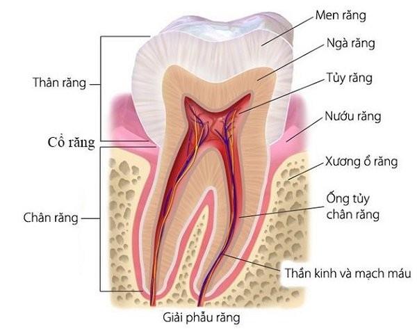 Cấu tạo răng
