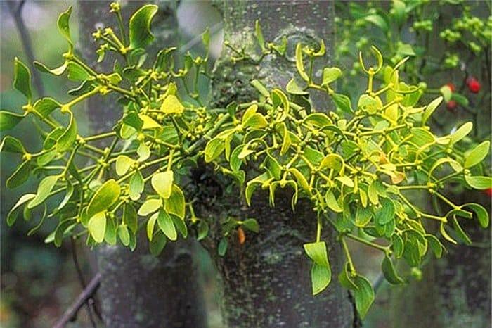 Cây tầm gửi hút chất dinh dưỡng từ cây chủ