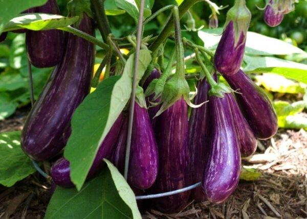 Cà tím là loại rau quen thuộc, được trồng nhiều ở nước ta.