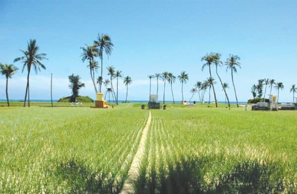 Cánh đồng tỏi Lý Sơn vào mùa thu hoạch
