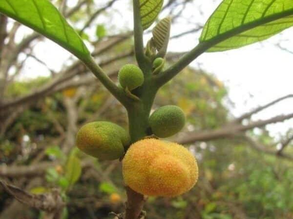 Cây chay là loài cây đặc hữu ở Việt Nam.