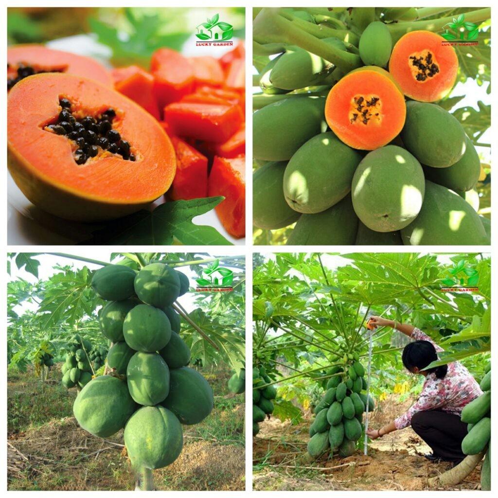 Đu đủ là loại trái cây có hàm lượng dinh dưỡng cao.