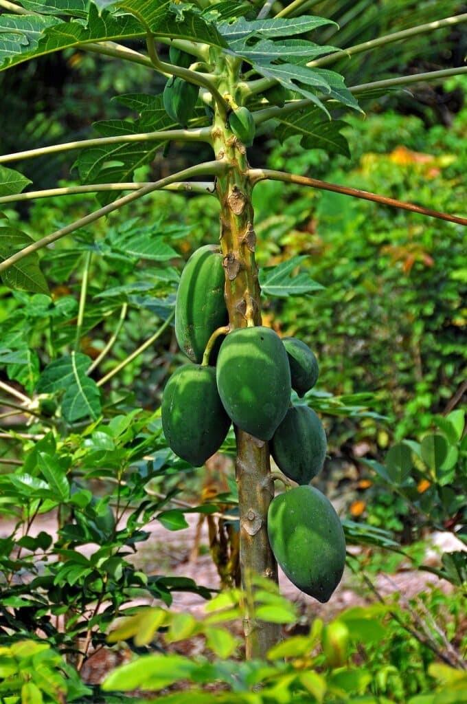 Cây đu đủ cung cấp nhiều bộ phận dùng làm thuốc: quả đu đủ xanh và chín, hạt đu đủ, hoa đu đủ, nhựa đu đủ, lá đu đủ, papain.