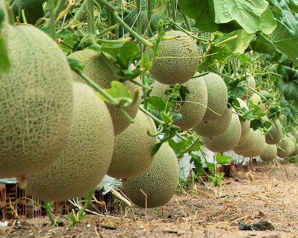 Dưa lưới được trồng rộng rãi tại nước ta