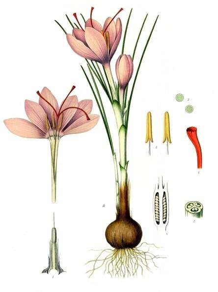 Hoa nghệ tây là một thể tam bội, không tự tương thích và không sinh sản hữu tính. Mỗi bông hoa có 3 nhuỵ.