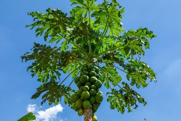 Lá đu đủ tên khoa học là Folium Carica Papaya L., thuộc họ Đu đủ Papayaceae.
