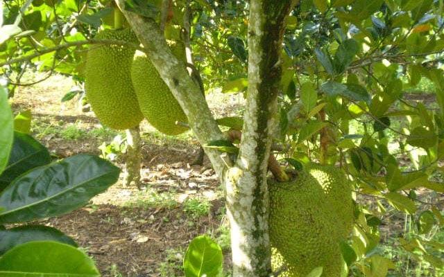 Hình ảnh của cây mít