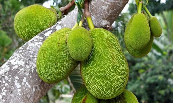 Mít là cây ăn quả quen thuộc với nhân dân.