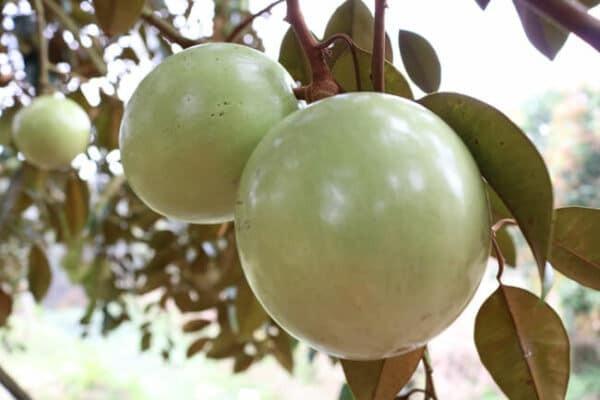 Vú sữa là cây ăn quả quen thuộc ở Việt Nam, được nhiều người ưa thích.