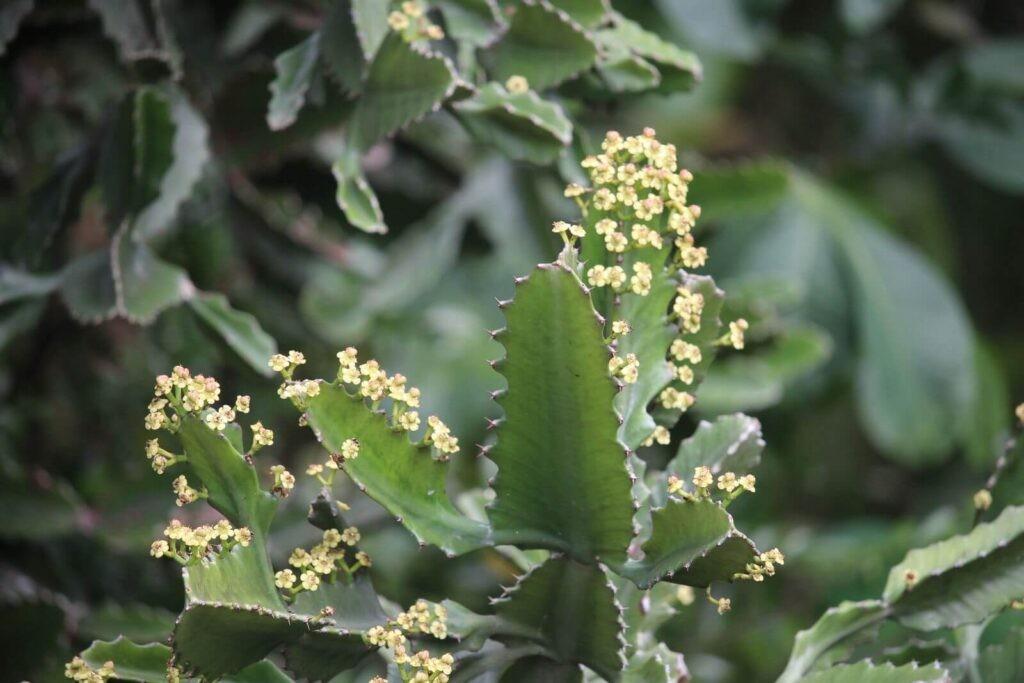Xương rồng là loài thực vật không chỉ làm cảnh mà còn có tác dụng trị bệnh.