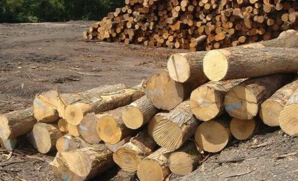 Cà dăm là một trong những loài cây lấy gỗ.