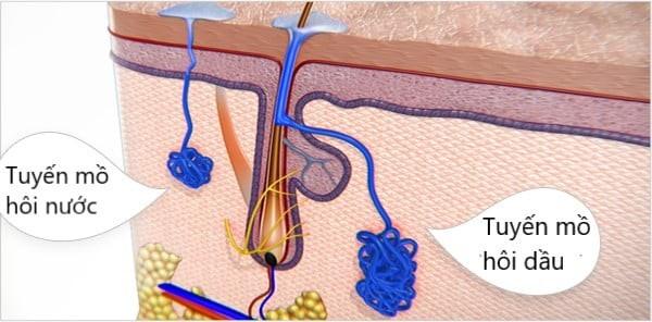 Hình ảnh mô phỏng các loại tuyến mồ hôi trong cơ thể