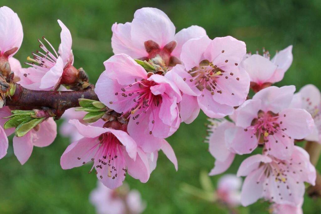 Hoa đào có nhiều công dụng y học cổ truyền và y học hiện đại