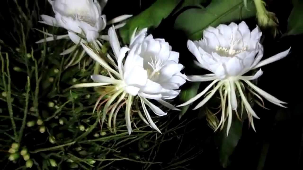 Hoa quỳnh là loài hoa mang vẻ đẹp tinh tế, dịu dàng, mùi hương lan tỏa đặc trưng