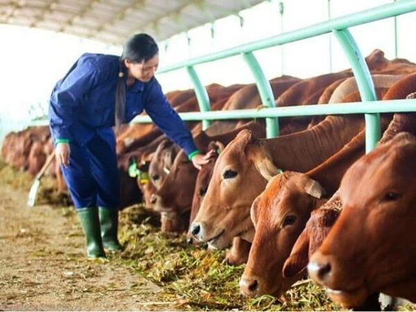 Nông dân có thể dùng lạc dại để làm thức ăn trong chăn nuôi.