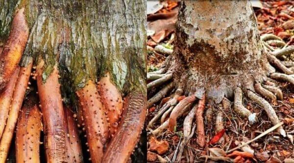 Rễ cau tốt cho sức khỏe