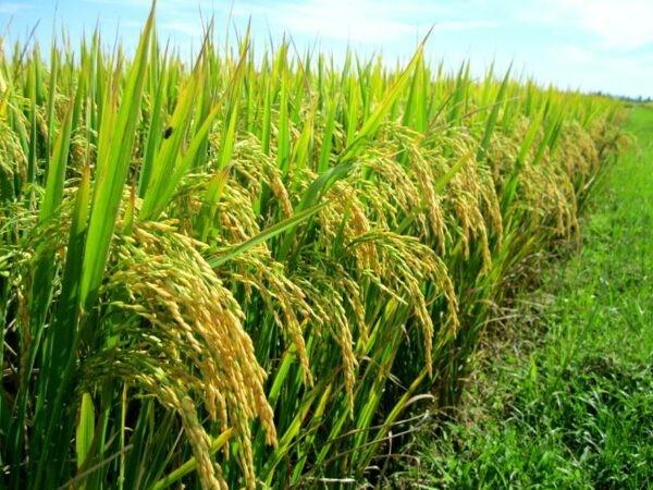Vỏ trấu cứng bên ngoài giúp bảo vệ hạt gạo